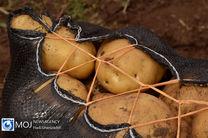 صادرات سیب زمینی حدود ۸۳ درصد افزایش داشته است
