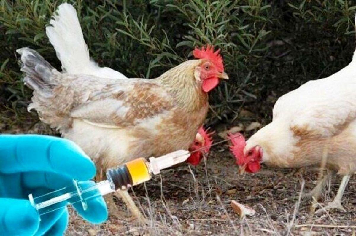 آغاز واکسیناسیون رایگان طیور بر علیه بیماری نیوکاسل در اردستان