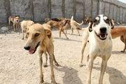 جمع آوری 100 قلاده سگ در یکماه گذشته از محیط انسانی قشم