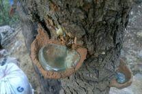 کشف ۶۰۰ لیتر سقز کوهی در شهرستان الیگودرز