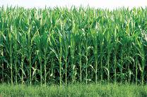 برداشت سبز ۳۰ درصد از مزارع شرکت کشت و صنعت نیشکر سلمان فارسی