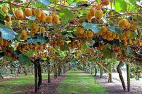 صادرات بیش از 100 تن کیوی باغات چالوس به کشورهای همسایه
