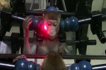 آموزش میمون ها برای تشخیص چهره خود در آینه
