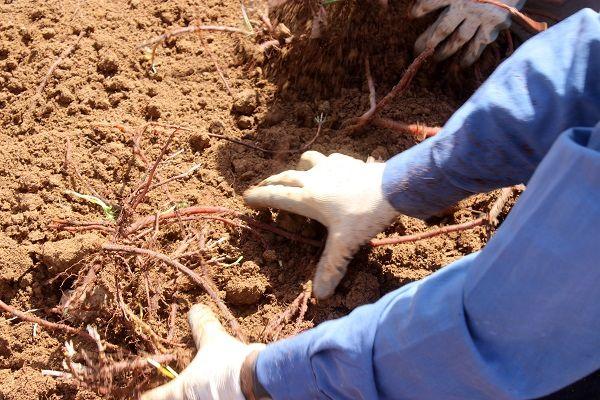 پیش بینی برداشت 100 تن روناس در خوروبیابانک