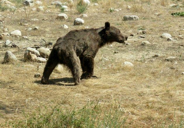 خرس قهوهای باعث مسدود شدن جاده منتهی به صالح آباد شد