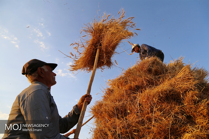 نرخ خرید تضمینی گندم برای سال آینده تعیین شد