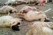 حملهی پلنگ به گلهی گوسفندان در بشاگرد