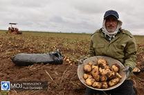 کشت سیب زمینی در شهرستان سلسله ممنوع است