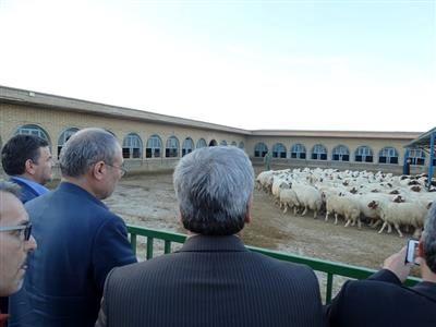 گوسفند نژاد سنجابی، نژاد برتر ایران در تولید گوشت است
