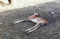بیماری«اکتیما» موجب تلف شدن 30 راس میش و بره در پارک ملی سالوک شد