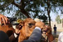 پلاک کوبی بیش از ۱۹ هزار نفر شتر در هرمزگان