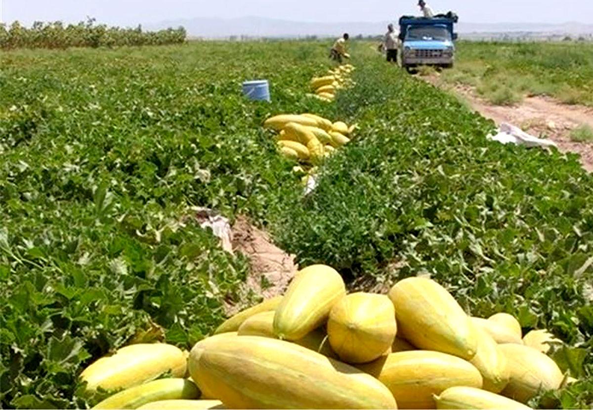 برداشت بیش از ۶ هزار تن خربزه از مزارع شهرستان خواف تا پایان فصل