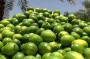 برداشت لیمو ترش از باغهای هرمزگان آغاز شد