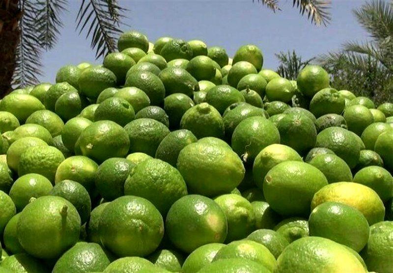 آغاز برداشت لیمو ترش از باغات شهرستان دره شهر