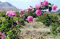 هرسین بزرگترین گلستان گل محمدی کرمانشاه
