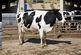 افزایش 12 درصدی قیمت گوشت گوساله زنده