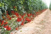 تسهیلات ویژه به متقاضیان کشت گلخانهای اختصاص مییابد