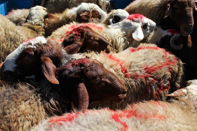 قیمت هر کیلو گوشت دام زنده 18500 تومان است