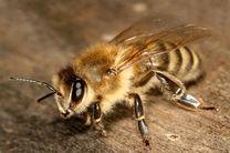 تولید ۱۲۰۰ فروند ملکه زنبورعسل در ساری