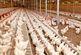 فضاسازی در بازار مرغ بدون توجه به شرایط اقتصادی