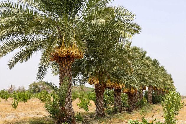 تولید١٣ درصد خرما جهان در ایران/خواسته وزارت جهاد کشاورزى گسترش تعاملات بین اللملى است