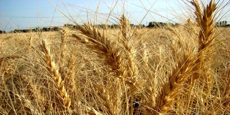 آغاز کشت پاییزه گندم در استان اصفهان