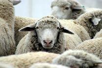 دوره آموزشی پروار بندی گوسفند
