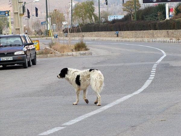 طرح جمع آوری سگ های ولگرد از معابر شمال شرق تهران آغاز شد