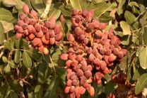 پیش بینی برداشت 4500 تن پسته از باغات استان اصفهان