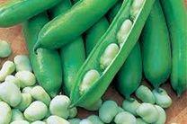 برداشت 1200 تن باقلای سبز از مزارع میاندورود