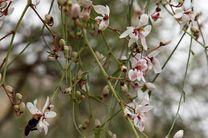 درختان گازرخ در هرمزگان شکوفه باران شدند