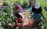 406 پروانه فعالیت کشاورزی در شهرستان رودان  صادر شد