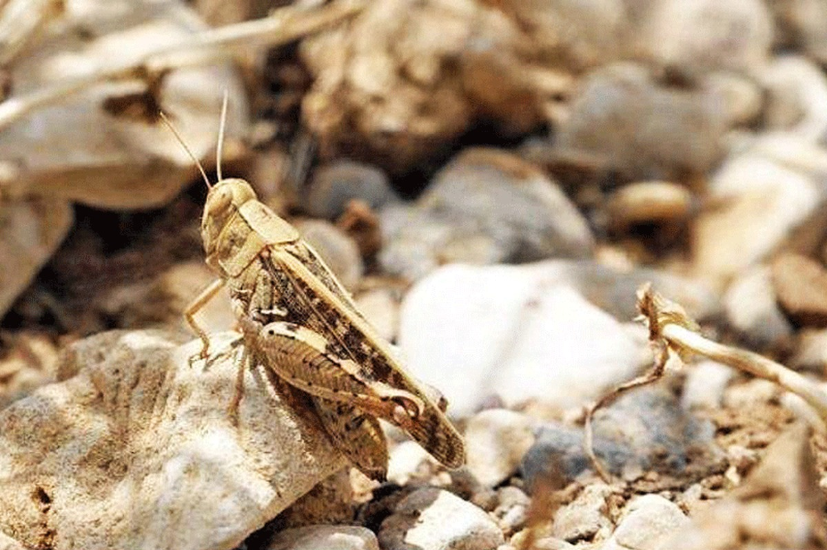 ساماندهی اکیپهای ردیابی و مبارزه با ملخهای صحرایی در هرمزگان