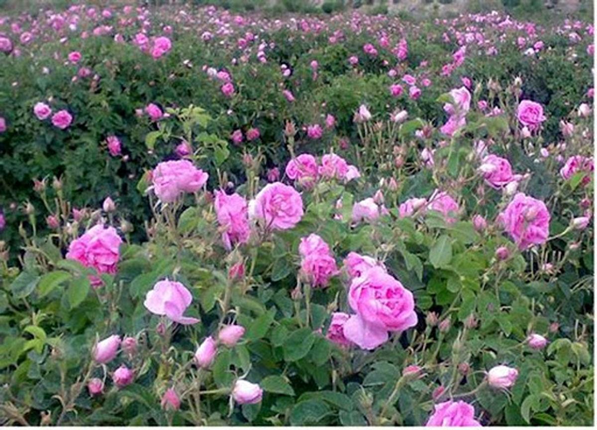پیش بینی  برداشت 4 تن گل محمدی از هر هکتار در شهرستان آران و بیدگل