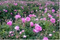 افزایش ۲۰ درصدی کشت گل محمدی در باغات آران و بیدگل