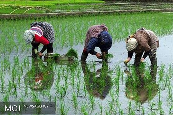 تولید ۸۰۰ تن برنج در مرکز لرستان
