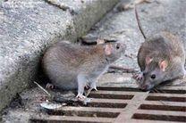 کاهش جمعیت موش های پایتخت با استفاده از فوم تزریقی
