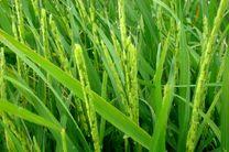 خودنمایی نخستین خوشه های برنج در گیلان
