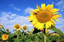 برداشت تخمه آفتابگردان از 150 هکتار از مزارع کشاورزی در شاهین شهر و میمه