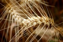 بیش از یک میلیون تن گندم در استان گلستان خریداری شد/ پرداخت پول کشاورزان بهزودی