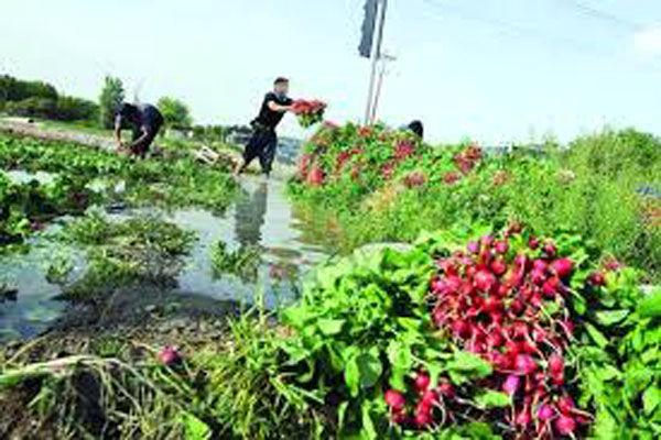 تولید 13 هزار تنی سبزی و صیفی در جویبار