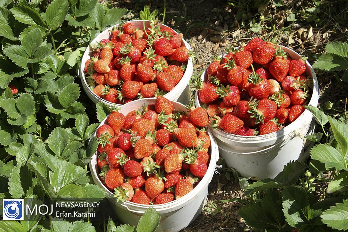 برداشت توت فرنگی در مزارع جویبار آغاز شد