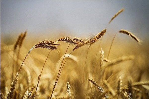 گندم تولیدی در زنجان 140 تا 170 هزارتن کاهش دارد