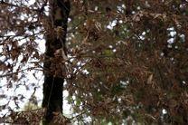 ۱۲۲ هکتار از شمشادستان های ساری آلوده به آفت شب پره است