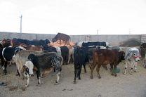 کشف 28 رأس احشام قاچاق در رودسر