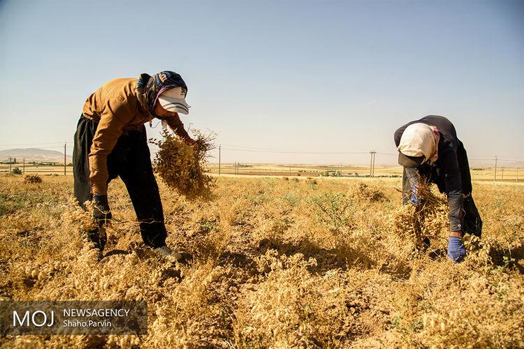 ارتقا کیفیت گندم از امسال/ظرفیت ۲۵ تنی کشور در تولید آرد