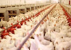 ایرانیها 2 برابر میانگین جهانی مرغ مصرف میکنند