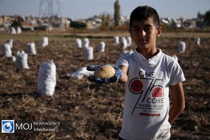 برداشت سیب زمینی از مزارع منطقه قروه و دهگلان در کردستان
