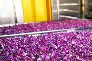 آغاز برداشت گل محمدی در 25 هکتار از باغات مهریز