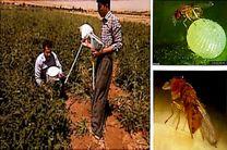 زنبور پارازیته «تریکو گراما» از عوامل کنترل بیولوژیک آفات زراعی و باغی تولید شد